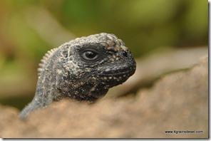 Galapagos - Isla Isabela (21)