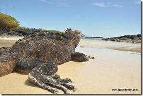 Galapagos - Isla Isabela - Plage .. (7)