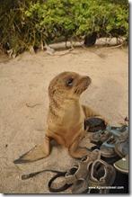 Galapagos - Isla San Cristobal - La Loberia (12)