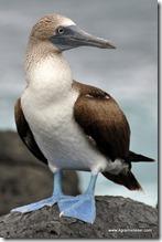 Galapagos - Isla los Lobos (11)