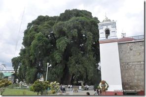 Mexique - Arbol de Tule (20)