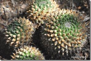 Mexique - Reserva de Tehuacan Cuicatlan (17)