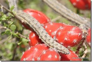 Mexique - Reserva de Tehuacan Cuicatlan (26)