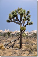Usa - Californie - Joshua Tree NP (49)