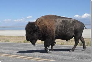 Usa - Utah - Antelope Island (9)_thumb